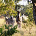 Zebras Staring