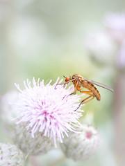 M O U S Q U I T O (Isabelle Vansteen) Tags: fleur insectes moustique plante