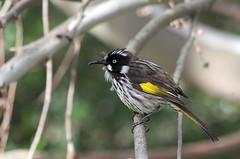 IMGP6352as (Cee Jay Cee) Tags: newhollandhoneyeater honeyeater bird australianbird