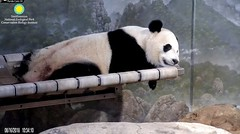 2018_08-16i (gkoo19681) Tags: beibei chubbycubby fuzzywuzzy adorableears naptime danglingleg comfy sotired fightingsleep toocute beingadorable precious darling contentment stillababy meltinghearts ccncby nationalzoo