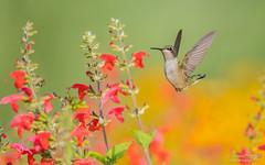 Ruby-throated hummingbird (salmoteb@rogers.com) Tags: bird wild outdoor nature ontario canada toronto rubythroated hummingbird songbird flowers inflight animal