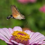 Hummingbird hawk-moth thumbnail