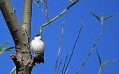 Tree Swallow - Hirondelle bicolore - Tachycineta bicolor (D72_7917-1PE-20180621) (Michel Sansfacon) Tags: hirondellebicolore treeswallow tachycinetabicolor nikond7200 sigma150600mmsports parcnationaldesîlesdeboucherville parcsquébec faune