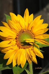you are my sunshine, my only sunshine (Judecat (back on the farm)) Tags: nature mygarden wildwood yellow