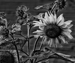 Let's brighten up, a rainy day! 😊 (LeanneHall3 :-)) Tags: blackandwhite mono sunflower petals flower flowersarefabulous flowerarebeautiful flowerflowerflower macrounlimited canon 1300d