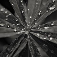 x (Stefano Rugolo) Tags: stefanorugolo pentax k5 pentaxk5 helios44258mmf2 helios442 helios fotodioxpro fotodioxmacroextensiontube droplets monochrome plant x sweden bokeh