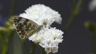 Esverdeada - Pontia daplidice (fam. Pieridae) - Bath white