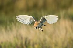Barn Owl (Simon Stobart - Back But Way Behind) Tags: barn owl tyto alba hovering hunting north east england uk