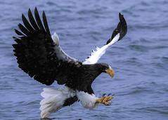 ALP_2072 (avalon8174) Tags: eagle stellersseaeagle