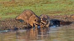 This week Raccoons (nickinthegarden) Tags: raccoon jackmanwetlands langleybccanada