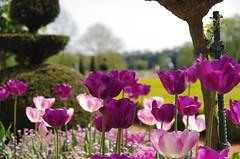 JLF14564 (jlfaurie) Tags: maintenon château castillo palace 22042018 jardin garden tulipes tulipanes tulips mechas gladys amigos friends michel magda sergio primavera printemps pentaxk5ii mpmdf jlfr jlfaurie spring flowers flores fleurs agua eau water canal intérieurs interiores inside