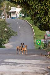 São Gabriel da Cachoeira-AM (Johnny Photofucker) Tags: amazonas sãogabrieldacachoeira cachorro dog chien perro cane cão animale pet brasil brasile brazil