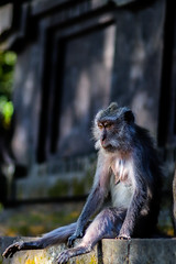 Sacred Monkey Forest (ahmet anıl1) Tags: monkey nature naturephotography animals animal indonesia bali world travel traveller photo photograph canon national 77d eos77d wildlife wild life
