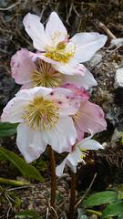 Christrose (fotokunst_kunstfoto) Tags: botanik botanischergarten botanoscher garten münchenmünchenblumenschmetterlingeexotikexotische blumeexotische pflanzen gewächshaus tropenhaus