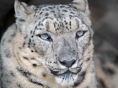 Ghosts of the Mountains (Amazing Aperture Photography) Tags: animal nature wild wildlife cat bigcat feline carnivore predator fur facewhiskers eyes nose ears profile snowleopard leopard mammal beautiful endangered nikon nikond800 tamron