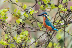 Kingfisher Stretch (CJH Natural) Tags: commonkingfisher eisvogel alcedoatthis king tree bird vögel nature summer leaves orange turquoise kingfisher