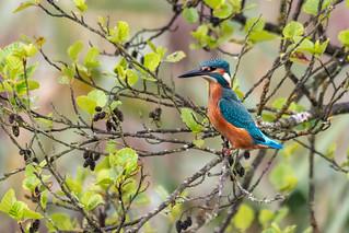 Kingfisher Stretch