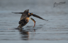 Cormorant wars 9_16 (krisinct- Thanks for 15 Million views!) Tags: nikon d500 500 f4 vrg