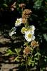 *Tanacetum parthenium, FEVERFEW. (openspacer) Tags: asteraceae creek feverfew jasperridgebiologicalpreserve jrbp nonnative riparian tanacetum