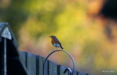 Autumn Robin (mootzie) Tags: fence bird robin redbreast garden autumn colours wildlife nature claws september aberdeenshirescotland greenorange