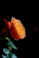 _DSC2371.jpg (judy dean) Tags: coth judydean 2018 rose lensbaby black orange light coth5