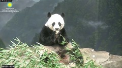 2018_08-16h (gkoo19681) Tags: meixiang beautifulmama sopretty proudmama adorableears fuzzywuzzy treattime yummyfruitcicle contentment keptinside delicious amazing perfection foreveryoung precious majestic stayingcool ccncby nationalzoo
