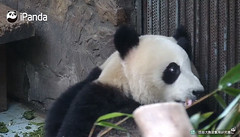 pan8194.png (heights.18145) Tags: pandas china ccncby ipanda