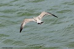 Gull J78A0860 (M0JRA) Tags: gulls birds flight flying wildlife rats walks gardens parks fields trees lakes ponds ducks swans rspb
