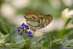 Papillon Malachite (Jourdheuil Clément) Tags: papillonmalachite butterfly exotique flowers macrophoto nature insecte familledesnymphalidae malachite siproelastelenes offemont clémentjourdheuil nikond610 bellecouleur flou bokeh