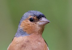 Chaffinch (Male) (Fringilla coelebs) - Taken at Barnwell Country Park, Nr. Oundle, Northants. UK (Ian J Hicks) Tags: