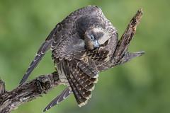 Peregrine Falcon (Photosequence) Tags: falco peregrinus falcoperegrinus fastest bird animal falcon raptor shaheen muhammad faizan photography nataviancom natavian