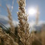 Sunshine grass thumbnail