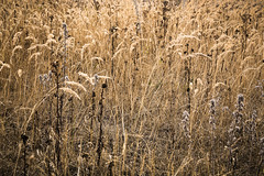 Grasses, Haarlem Spaarnwoude, Netherlands (natures-pencil) Tags: grasses dry plants nature drought heatwavesummer field gramineae