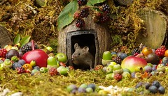 wild mouse with fruits and berry's (10) (Simon Dell Photography) Tags: wild george log pile house mouse nature garden animal rodent cute fun funny summer fruits berries berrys display lots bounty moss covered simon dell photography sheffield 2018 aug cool awesome countryfile ears close up high detail cards design