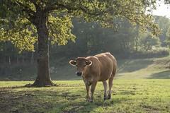 Une limousine et quelques mouches *---- ° (Titole) Tags: vache cow titole nicolefaton tree limousine rural