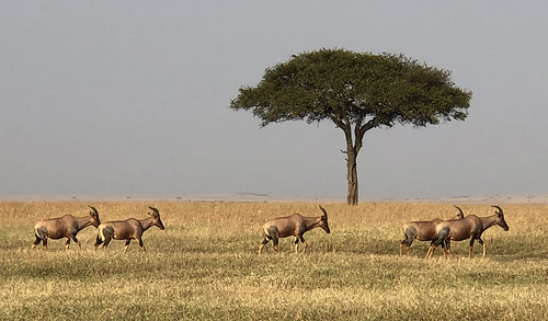 1377eps  Topi migrating in the Masai Mara