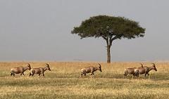 1377eps  Topi migrating in the Masai Mara (jjjj56cp) Tags: topi migrate migration migrating herd plains masaimara kenya africa grasslands antelope mammal bluejeansantelope safari africansafari jennypansing iphone inthewild landscape africanlandscape