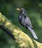 Blackbird (andywilson1963) Tags: blackbird bird wildlife nature scotland british woodland