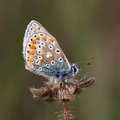 Common Blue Butterfly (meelynch) Tags: commonblue butterfly blue nature wildlife burren macro
