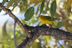 Yellow Warbler C2 (jimmy.stewart40) Tags: wildlife bird warbler yellowwarbler yellow branch leaves green sky blue bokeh outdoors blendingin