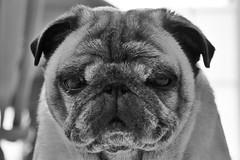 Waking up (Scott Duffus) Tags: pug pet portrait blackandwhite dog