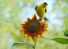 Perfect ornament (NaturewithMar) Tags: sunflower goldfinch bird