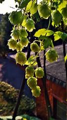 Die Perle (tastentipper72) Tags: hopfen hops perle homebrew tettau