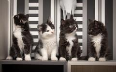 You've cat to be kitten me right meow (Ranveig Marie Photography) Tags: kitten kittens cat cats cute adorable supercute pet pets katt katter kattunger kattunge egersund dyrebeskyttelsen dyrebeskyttelsennorgenordjæren