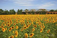 I like sunflowers (José Luis Pérez Navarro) Tags: landscape paisaje girasoles sunflowers flowers puente bridge sky cielo clouds nubes villadelrio cordoba spain españa airelibre joseluisperez trees girassóis 向日葵 ヒマワリ 風景
