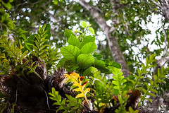 Ferns in the Jungle Tops 3267 (Ursula in Aus) Tags: jimclinephototour milnebay png papuanewguinea tawali