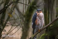 gA24O1452-2 (markandruth.photos) Tags: sparrowhawk bird prey nature wildlife canon canonphotography canonuk