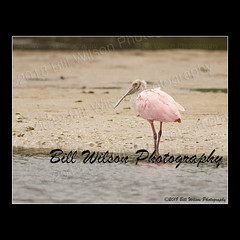 roseate spoonbill (wildlifephotonj) Tags: roseatespoonbill roseatespoonbills floridabirdphotos floridawildife floridabirds wildlifephotography wildlife nature naturephotography wildlifephotos naturephotos natureprints birds bird birdphotography