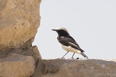 Monachella lamentosa (Milo Manica) Tags: oenanthelugens monachellalamentosa uccello bird oiseau deserto desert israele palestina canon eos 60d tamron 70300