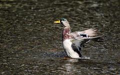 Mallard. (Chris Kilpatrick) Tags: chris canon7dmk2 canon outdoor wildlife nature animal bird mallard douglas isleofman water sigma150mm600mm springwatch